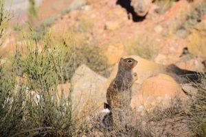 Das gefährliche Grand Canyon Killer-Eichkätzchen