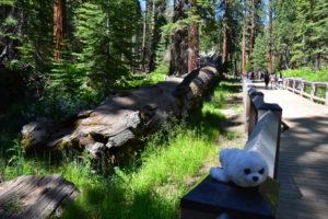 Robbi bei den Sequoia-Bäumen
