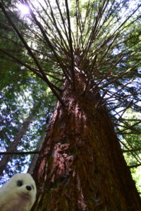 Robbi im Redwood NPRobbi im Redwood NP
