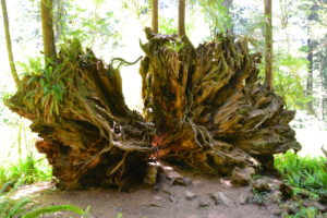 Große Bäume haben auch große Wurzeln