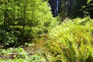 Im Redwood NP gibt es nicht nur Redwood